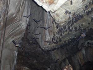 Fledermäuse in der Höhle Gua Telinga