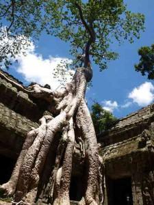 Würgefeige im Ta Prohm Tempel