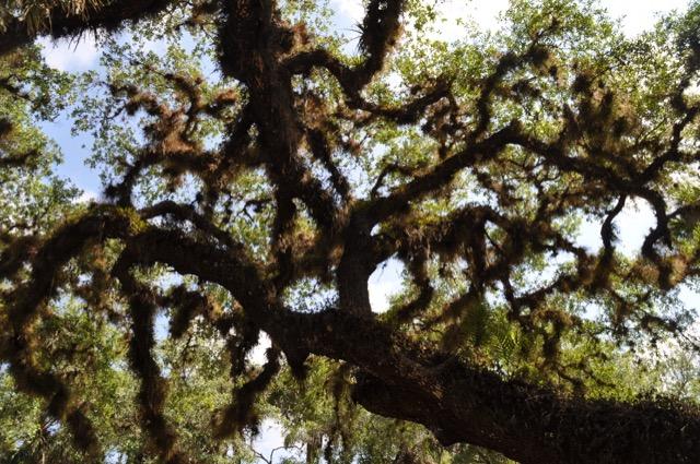 """Baum mit """"Spanish Moss"""""""