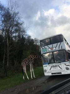 Mit dem Bus durch den Serengeti Park Hodenhagen