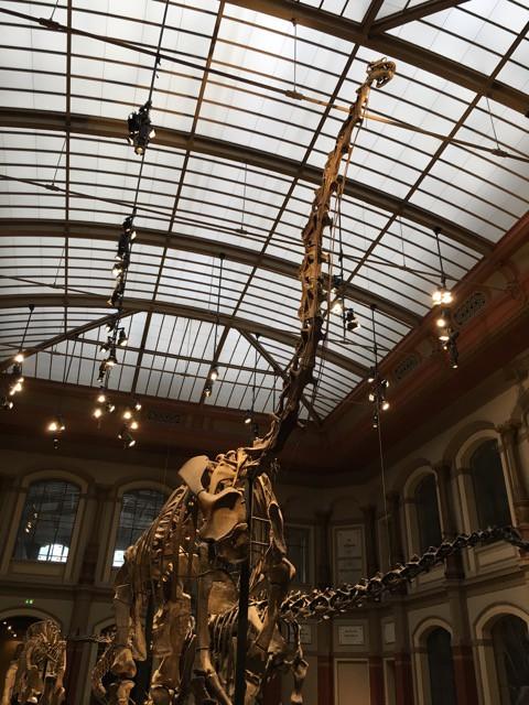 Langhals Dinosaurier-Skelett im Naturkundemuseum Berlin