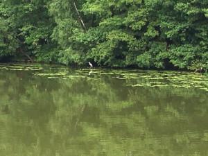 Fischreier in Templin am See