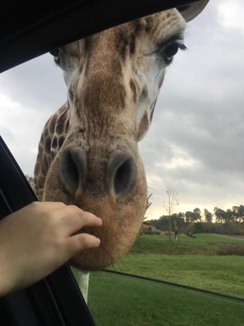 Giraffe im Auto - Serengeti Park Hodenhagen