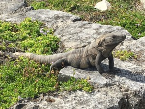 Leguan bei Tulum