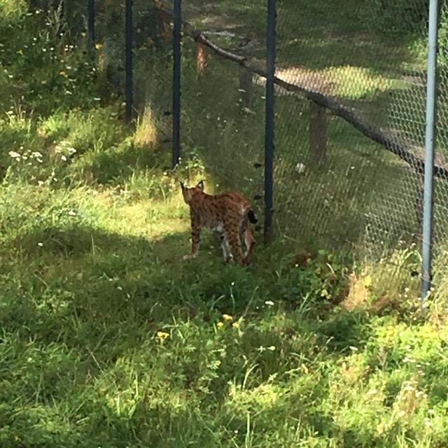 Luchs im Wildtierpark Schorfheide
