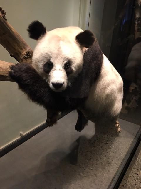 Ausgestopfter Panda-Bär im Naturkundemuseum Berlin