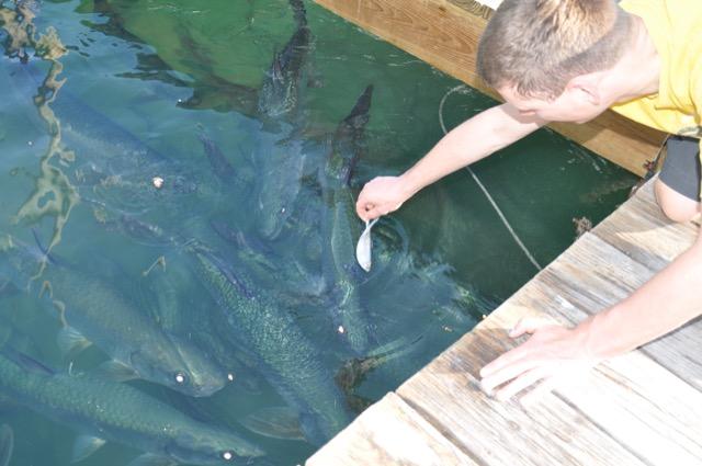 Tarpons füttern auf den  Florida-Keys bei Robbies auf Islamorada