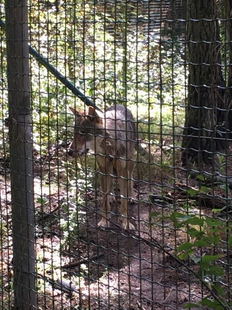 Wolf im Wildtierpark Schorfheide