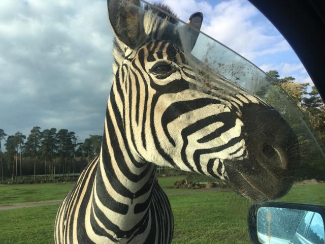 Zebra - Serengeti Park Hodenhagen