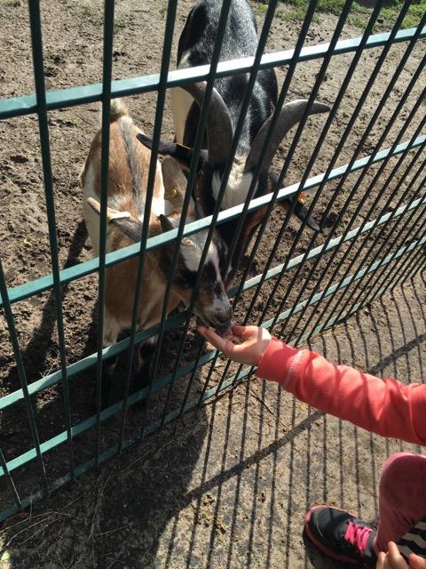 Ziegen füttern im Wildtierpark Schorfheide